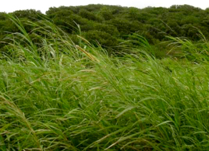 EPA Approves Use of Invasive Species for Biofuel | Invasive species | Scoop.it