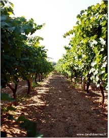 The Independent Wine Review: Candido – Producer Profile | Vinitours | Scoop.it