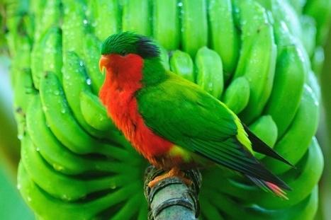 Six oiseaux polynésiens pourraient disparaître dans les cinq ans | Endangered Wildlife | Scoop.it