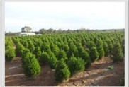 Requirement to Cultivate Real Christmas Trees   Christmas Trees, Decaration and More   Scoop.it