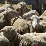 Patagonia : Laine certifiée et élevage durable pour la Patagonie | Des 4 coins du monde | Scoop.it