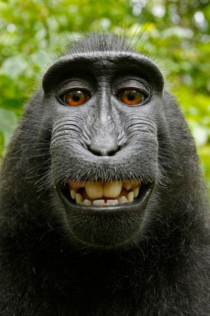 Droit d'auteur : le selfie d'un singe crée une bataille juridique sans précédent | La révolution numérique - Digital Revolution | Scoop.it