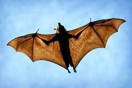 Bat-bite victims angry at lack of rabies vaccine | Virology News | Scoop.it