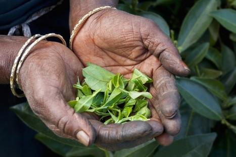 A la découverte des meilleurs thés du monde. | Voyage en direct | Scoop.it