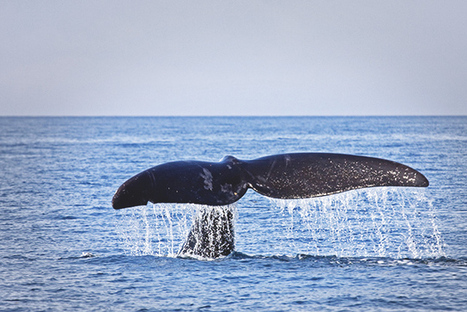 The Rarest Whale on Earth is Bouncing Back From the Brink | Marine Protection | Scoop.it