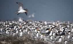 Terns flee warming temperatures in epic migration north to Alaska | Oceans and Wildlife | Scoop.it