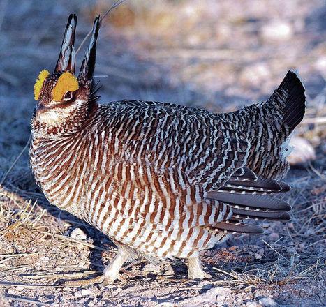 A battle rages over prairie chicken in peril - Santa Fe New Mexican.com | Dunes Sagebrush Lizard | Scoop.it