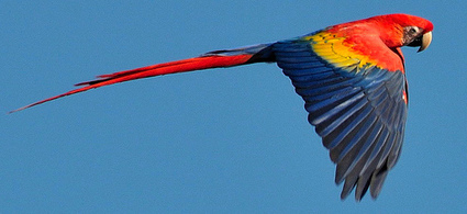 Journal Club: Scarlet macaw genome sequenced - Birding Blogs | Parrots | Scoop.it