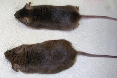 Un gen vinculado al cáncer y también a la pérdida de peso(Abstracto) | medicina , pediatria , oncologia | Scoop.it