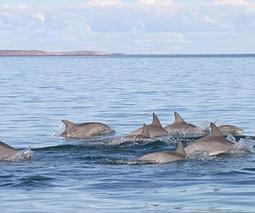 Scientists in search of cause of increase in dolphin deaths | Sustain Our Earth | Scoop.it