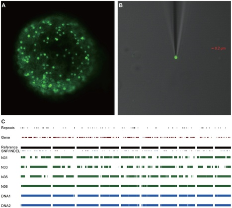 PLOS Genetics: Single Nucleus Genome Sequencing Reveals High Similarity among Nuclei of an Endomycorrhizal Fungus (2014) | Plant Pathogenomics | Scoop.it