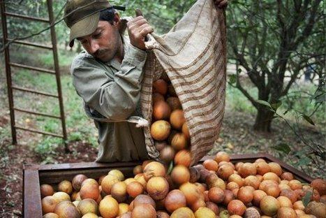 Les oranges brésiliennes ont un goût amer   CNCD-11.11.11   éducation au développement   Scoop.it