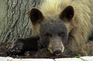 Judge sentences men for poaching Colorado black bear | Wildlife Trafficking: Who Does it? Allows it? | Scoop.it