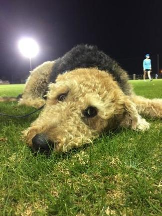 Waiting | Airedale Terriers | Scoop.it