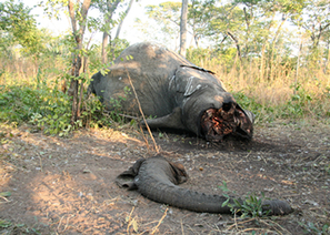 SPECIAL REPORT: Why anti-poaching campaign ineffect in Tanzania | Wildlife Trafficking: Who Does it? Allows it? | Scoop.it