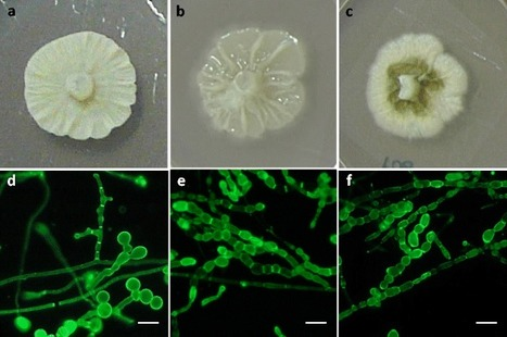 New mutualistic fungal endophytes isolated from poplar roots display high metal tolerance | bioremediation | Scoop.it