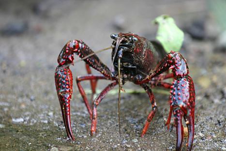 Especies exóticas invasoras ... ¿tortugas mosquitos y mapaches? | Enriquecimiento ambiental en animales en cautividad y mascotas. | Scoop.it