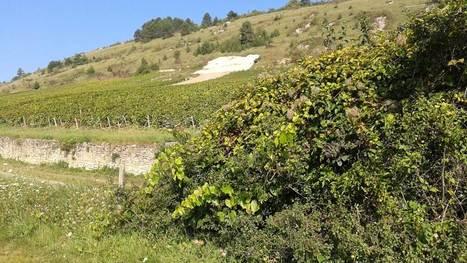 INRA - Flavescence dorée de la vigne : surveiller les réservoirs sauvages, une action collective | AGRONOMIE VEGETAL | Scoop.it