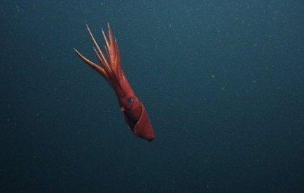Dans le doute, le calamar féconde tout ce qui bouge, mâle ou femelle | Mais n'importe quoi ! | Scoop.it