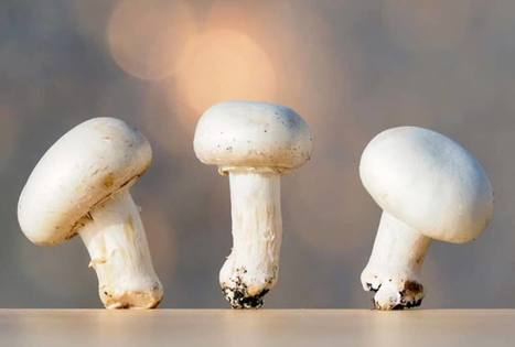 UP Magazine - Un champignon modifié par CRISPR ouvre la voie à la dérégulation de l'édition des plantes | Sécurité sanitaire des aliments | Scoop.it