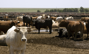 Research: Antibiotic-Resistant Bacteria May Travel Via Feedlot Dust | Food Safety News | Morgan | Scoop.it
