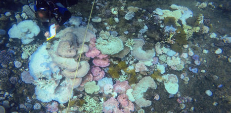 Coral Bleaching Taskforce: more than 1,000 km of the Great Barrier Reef has bleached | 12 Geography: Ecosystems | Scoop.it