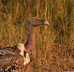 IUCN - Vultures – the silent victims of Africa's wildlife poaching   Kruger & African Wildlife   Scoop.it