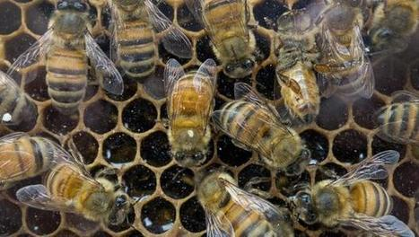 There's a new clue about what's killing honeybees around the world | LibertyE Global Renaissance | Scoop.it