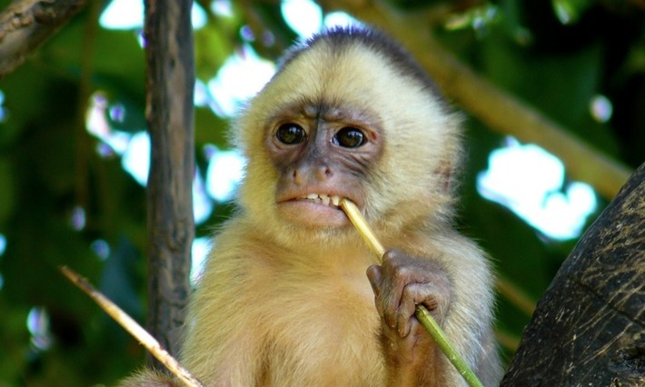 Monkeys in Brazil 'have used stone tools for hundreds of years at least' | Heritage Daily | Kiosque du monde : A la une | Scoop.it