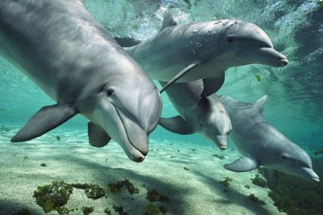 #Dolphins are so #intelligent, say scientists, they deserve their own cetacean Bill of #Rights ~ we agree* | Rescue our Ocean's & it's species from Man's Pollution! | Scoop.it