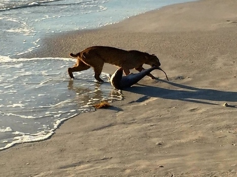 Bobcat goes shark fishing on Florida beach | GrindTV.com | SA Scuba Shack | Scoop.it
