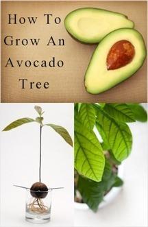 How To Grow An Avocado Tree : TipNut.com | Flores y plantas | Scoop.it