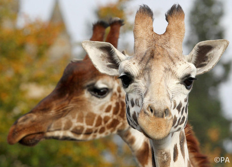 Death of Marius the giraffe reveals cultural differences in animal conservation   Marius   Scoop.it