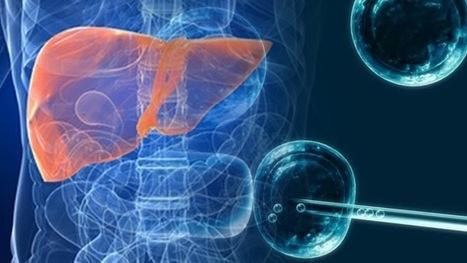 Desarrollan por primera vez a partir de células madre un hígado funcional humano | Educación | Scoop.it