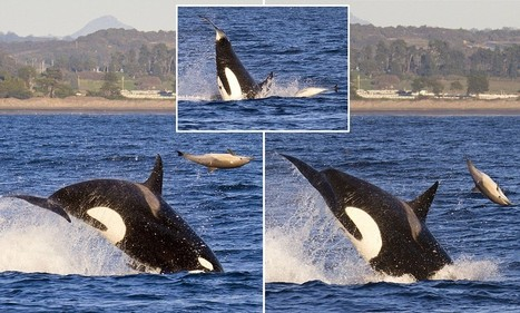 Flipper gets flipped! Gigantic killer whale sends dolphin somersaulting 20ft into the air | All about water, the oceans, environmental issues | Scoop.it