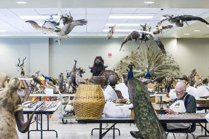'Smell of wet taxidermy' keeps crew busy at post-flood Burpee Museum in Rockford - Rockford Register Star | Taxidermy anthropology | Scoop.it