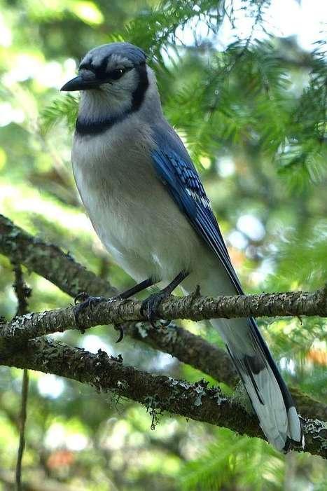 Photo d'oiseau : Geai bleu - Cyanocitta cristata - Blue Jay  - Page 2 | Fauna Free Pics - Public Domain - Photos gratuites d'animaux | Scoop.it