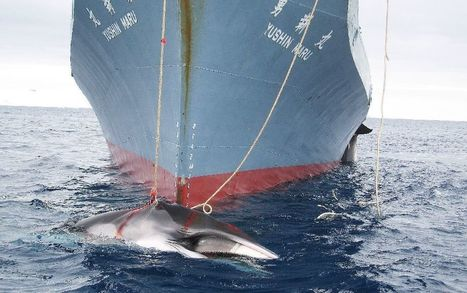 World body moves to curtail Japan's 'science' whaling | All about water, the oceans, environmental issues | Scoop.it