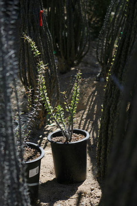 Planting ocotillos | Arizona Daily Star | CALS in the News | Scoop.it