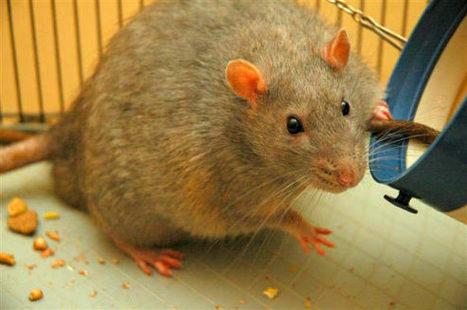 Obesity is Inflammatory Disease, Rat Study Shows | Medicine | Sci-News.com | Leadership | Scoop.it