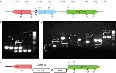 Embryonic lethality of Arabidopsis abp1-1 is caused by deletion of the adjacent BSM gene | Plant Biology Teaching Resources (Higher Education) | Scoop.it