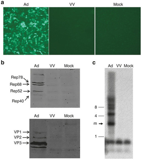 Vaccinia virus as a subhelper for AAV replication and packaging   Virology News   Scoop.it
