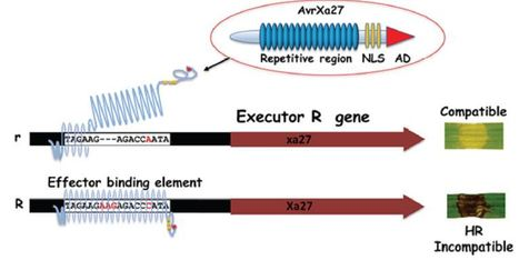 Frontiers in Plant Science: TAL effectors and the executor R genes (2015) | Plants and Microbes | Scoop.it