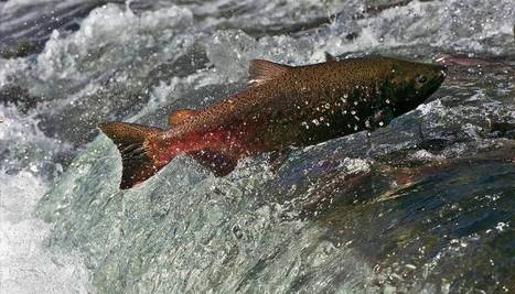 King salmon spotted at mouth of American River - Sacramento Bee | Fish Habitat | Scoop.it