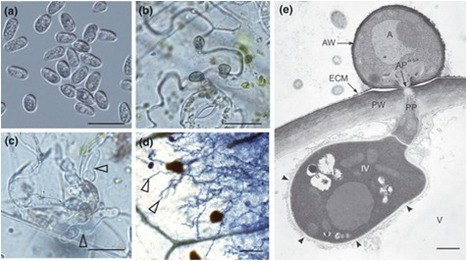 New Phytol.: Comparative genomic and transcriptomic analyses reveal the hemibiotrophic stage shift of Colletotrichum fungi (2012) | Effectors and Plant Immunity | Scoop.it