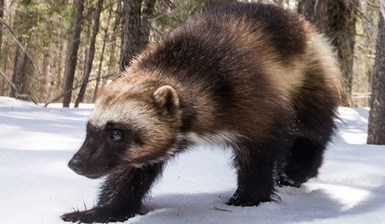 The Other Wolverine Who Rivaled X-Men for Fame – Defenders of Wildlife Blog   GarryRogers Biosphere News   Scoop.it