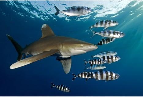 Wandering Whitetip Sharks Stick Close To Home In Bahamas | shraks | Scoop.it