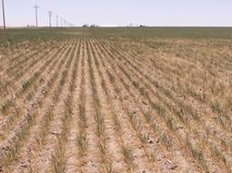 Drought Worsens, Winter Wheat the Current Victim | Grain du Coteau : News ( corn maize ethanol DDG soybean soymeal wheat livestock beef pigs canadian dollar) | Scoop.it