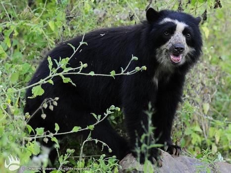 Noticias de ecologia y medio ambiente   Descubren en Perú colonia de la única especie de oso de Suramérica   Natura educa   Scoop.it