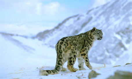 7 Things You Should Know About Snow Leopards | Stories | WWF | HELPING ANIMALS IN DANGER by Oumnia | Scoop.it